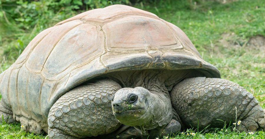 Die Seychellen-Riesenschildkröte Schurli. Sie ist am Sonntag im Tiergarten Schönbrunn gestorben.