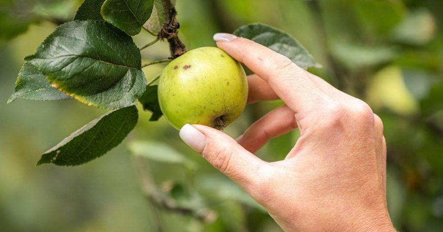 Wer darf den Apfel auf städtischen und kommunalen Wiesen pflücken?