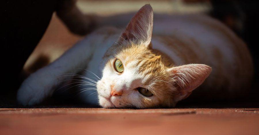 Corona-Ansteckungen bei Hunden und vor allem Katzen aus Haushalten von Infizierten könnten laut einer niederländischen Untersuchung häufiger sein als bisherige Meldedaten vermuten lassen.