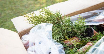 Zum Themendienst-Bericht vom 23. Juli 2021: Thuja «Brabant» aus einem Online-Shop: Auch für Pflanzen gilt die Regel, dass man den Vertrag innerhalb von 14 Tagen widerrufen kann. Das ist auch dann möglich, wenn die Pflanze in Ordnung ist.