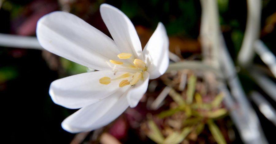 Die Herbstzeitlose (Colchicum autumnale) zählt zu den heimischen Arten. Besonders gut wächst sie auf humosem Boden.