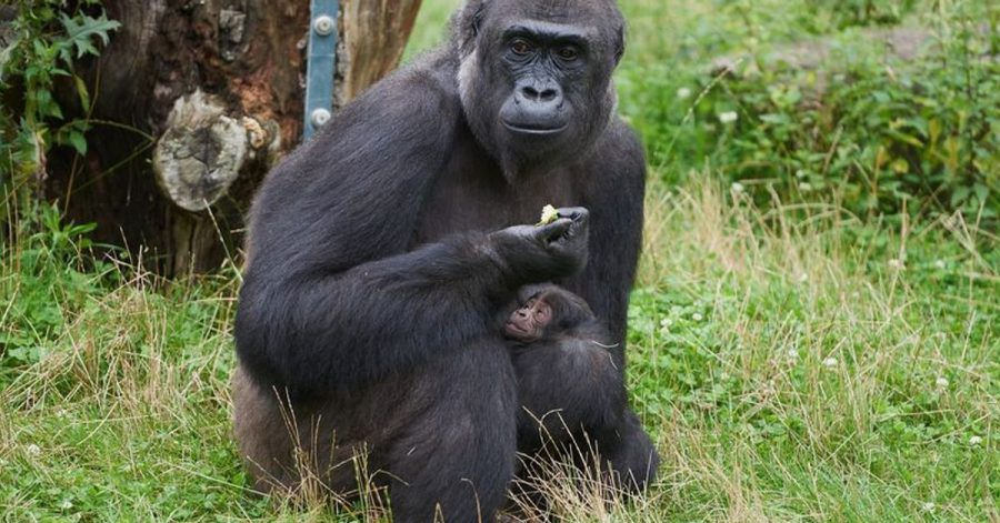 Gorillafrau «Muna» kümmert sich fürsorglich um ihren Sohn.