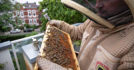 Imker Wolfgang Schön hält mit Schutzhemd und Stockmeißel eine Bienenwabe in den Händen auf dem Balkon seiner Stadtwohnung.