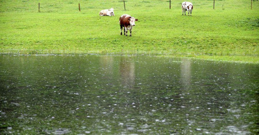 Drei Kühe stehen auf ihrer zum großen Teil überfluteten Wiese im Berchtesgadener Land. «So dreht ein Weiderind gern trotz vorhandenen Unterstands sein Hinterteil gegen die Hauptwindrichtung und trotzt so Sturm, Regen oder eventuellem Hagel»