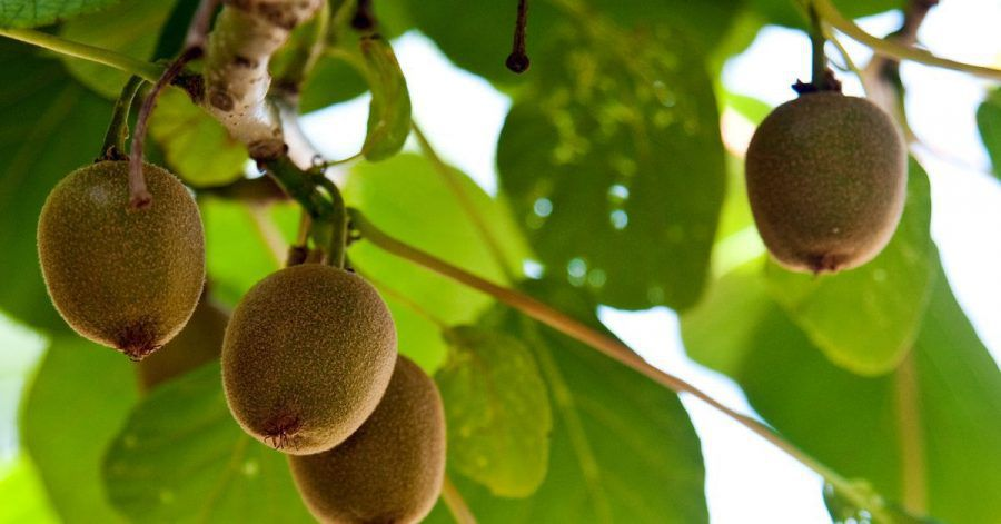 Die Früchte der Kiwi-Pflanze brauchen viel Wasser und Sonnenschein.