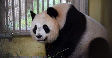 Panda-Weibchen Huan Huan ist trächtig und steht kurz vor der Geburt von Zwillingen.