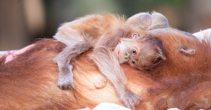 Auf dem Bauch trägt Orang-Utan-Mutter Tana ihren süßen Nachwuchs.
