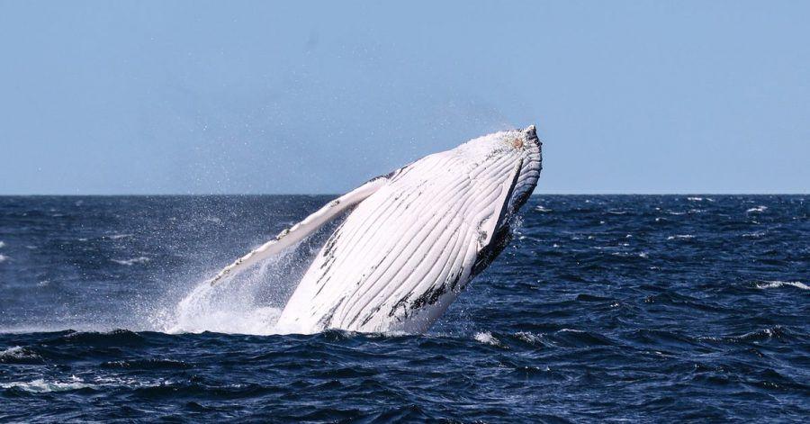 In der freien Natur gehören Buckelwale zu den majestätischsten Tieren der Erde - doch der Mensch wird immer wieder zur Gefahr für die Meeressäuger.