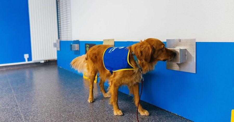Studien zufolge können Hunde dank ihres ausgezeichneten Geruchssinns mit hoher Sicherheit Infektionen mit dem Coronavirus erkennen. Pokaa ist neben seiner normalen Ausbildung speziell auf den Corona-Virus trainiert worden.