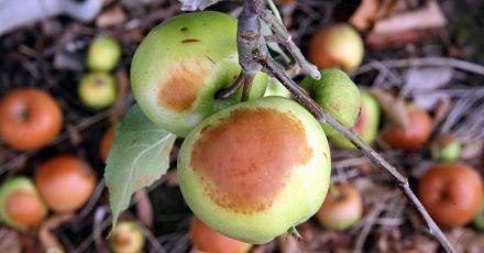 Braune Flecken am Apfel können ein Sonnenbrand sein.