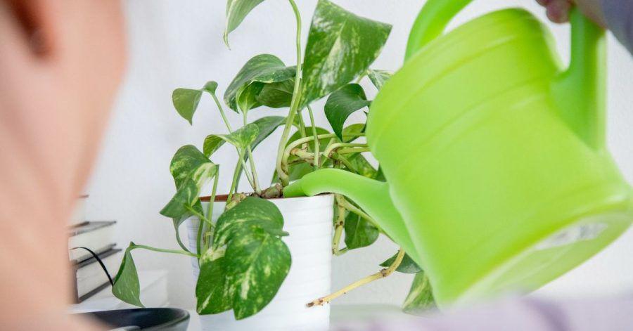 Wird Topfpflanzen zu viel Wasser gegeben, staut es sich im Topf. Das kann einem Todesurteil für die Pflanze gleichen.