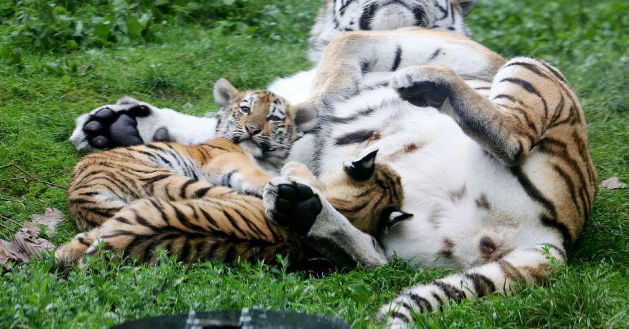 Ganz dicht bei der Mama: Die beiden Sibirischen Tigerbabys entwickeln sich gut.