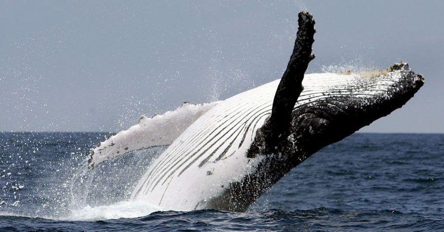 In Australien haben Tierschützende nun einen Buckelwal aus einem Fangnetz befreit.