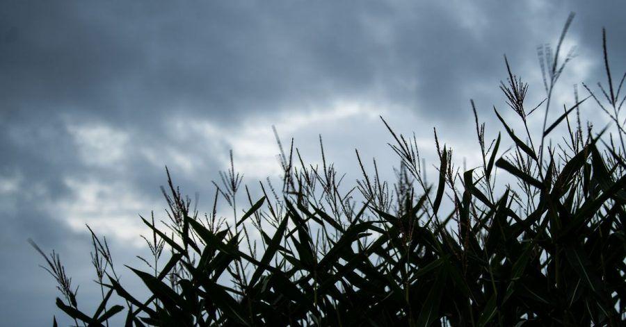 Mais weht vor dunklen Wolken im Wind. Vor allem in den östlichen Bundesländern kann es zumWochenstart teils sehr regnerisch werden.