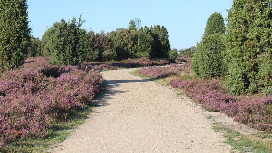 Von August bis September erstrahlt die Lüneburger Heide in einem satten Lila.  (amw/spot)