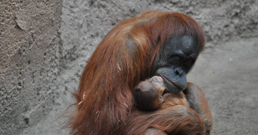 Orang-Utan-Mutter Raja hält im Leipziger Zoo ihr neugeborenes Kind in den Armen.