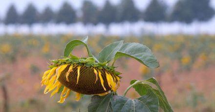 Verblühte Sonnenblume auf einem Feld in Nordsachsen. In den kommenden Tagen wird wechselhaftes Wetter erwartet.
