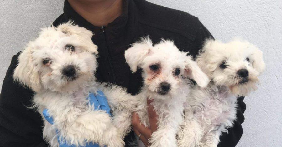 Grausames Geschäft mit Hundebabys: Nach einer erheblichen Zunahme an Tierwohlverletzungen bei importierten Welpen will die britische Regierung die Regeln verschärfen.