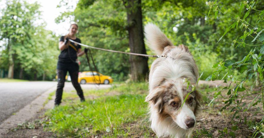 """Australian-Shepherd-Rüde """"Toni"""" führt Corinna Speicher an der lange Leine auf der Fährte eines anderen Hundes."""
