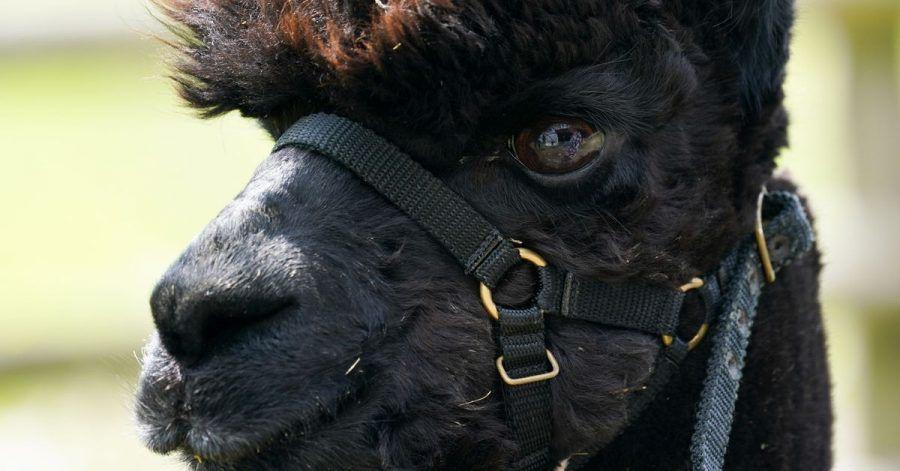 Das Alpaka mit dem Namen «Geronimo» steht auf der Shepherds Close Farm.