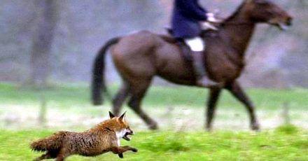 Ein Fuchs läuft im Dezember 2000 an einem Reiter der Jagdgesellschaft des Herzogs von Beaufort nahe Shipton Moyne vorbei.