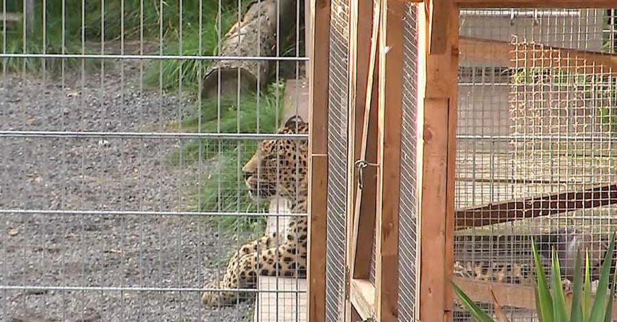 Ein Leopard liegt in seinem Gehege in einer sogenannten «Seniorenresidenz für Wildtiere» im Burgenlandkreis.