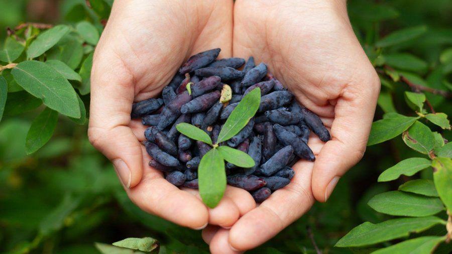 Äußerlich ähnelt die Haskap-Beere der Blaubeere. (ncz/spot)