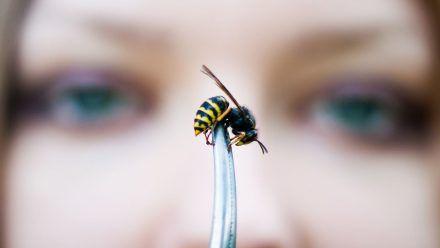 Warum nerven Wespen im August so sehr?