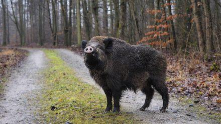 Wildschweine verhindern Festnahme eines Radfahrers