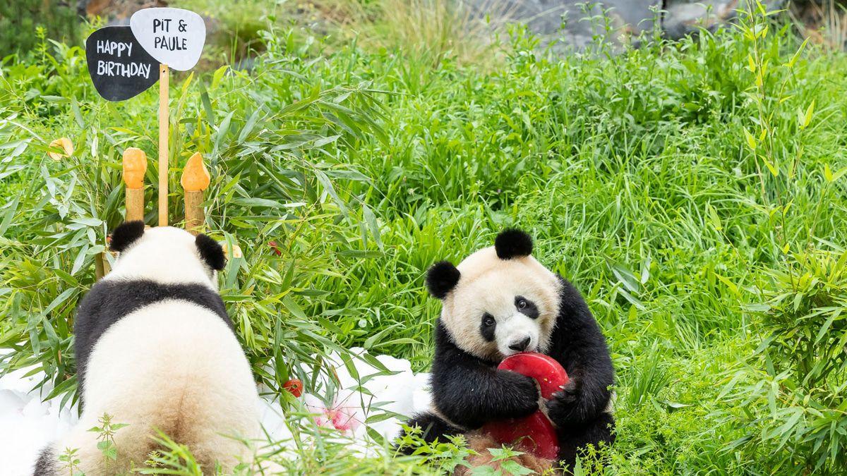 Berliner Panda-Zwillinge feiern 2. Geburtstag - die neusten Bilder