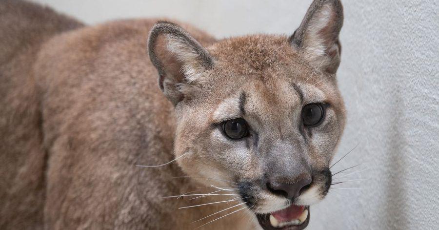 Dieses vom Bronx Zoo zur Verfügung gestellte Foto zeigt einen Puma im Bronx Zoo.
