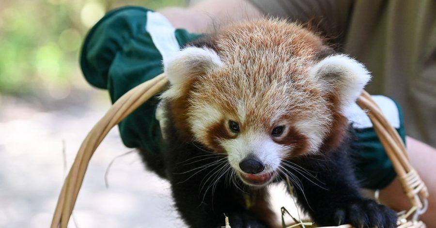Es ist ein Junge. - Der kleine Rote Panda erkundet die Welt.
