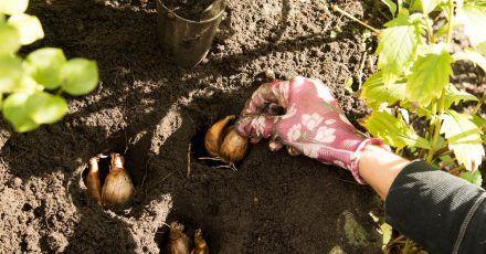 Solange die Herbstsonne noch scheint: Jetzt ist die richtige Zeit, Zwiebelblumen, die im Frühjahr blühen sollen, in die Erde zu geben.