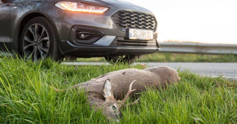 Im Herbst häufen sich wieder die Wildunfälle - besonders groß ist das Risiko in der Morgen- und in der Abenddämmerung.