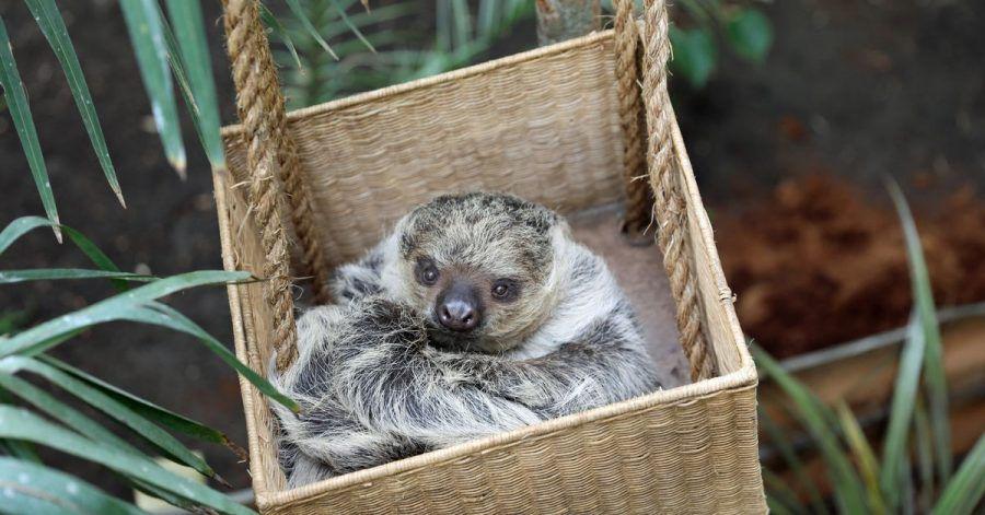 Eeinjähriges weibliches Faultiers Feira, genannt Fe, das zusammen mit dem zweijährigen männlichen Faultier Moana, genannt Mo, nun im Zoo Edinburgh wohnt.
