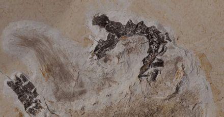 Seit Jahrzehnten befindet sich das Fossil des Sauriers Ubirajara im Naturkundemuseum in Karlsruhe, jetzt soll es nach Brasilien zurück.