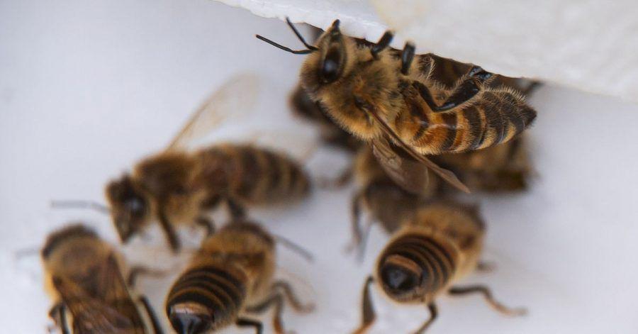 Bienenarbeiterinnen kommen aus ihrem Bienenstock.
