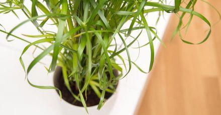 Schimmelfrei: Wenn der weiße Flaum regelmäßig auftritt, sollte die oberste Erdschicht entfernt oder die Pflanze umgetopft werden.