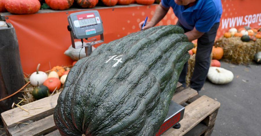 Stolze 56,75 Kilo brachte diese Zucchini auf die Waage - ein neuer deutscher Rekord.