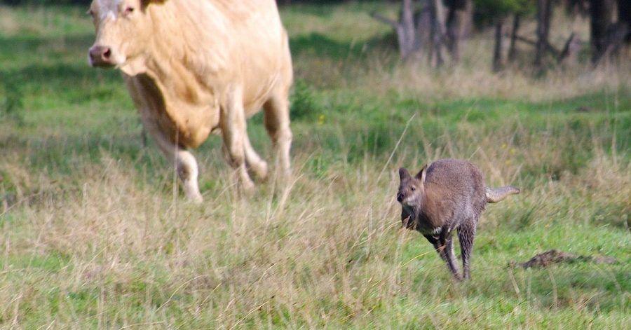 Ein entlaufenes Känguru springt vor einer Kuh über eine Wiese.