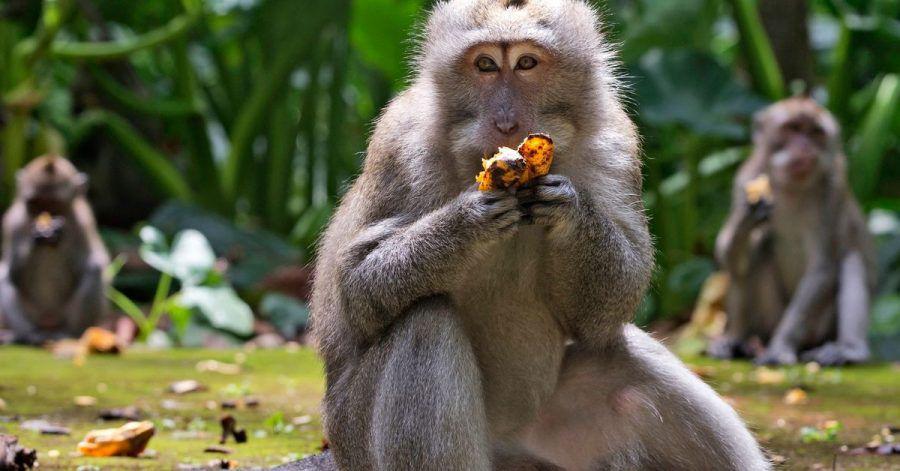 Makaken fressen Bananen während der Fütterungszeit im Sangeh Monkey Forest.