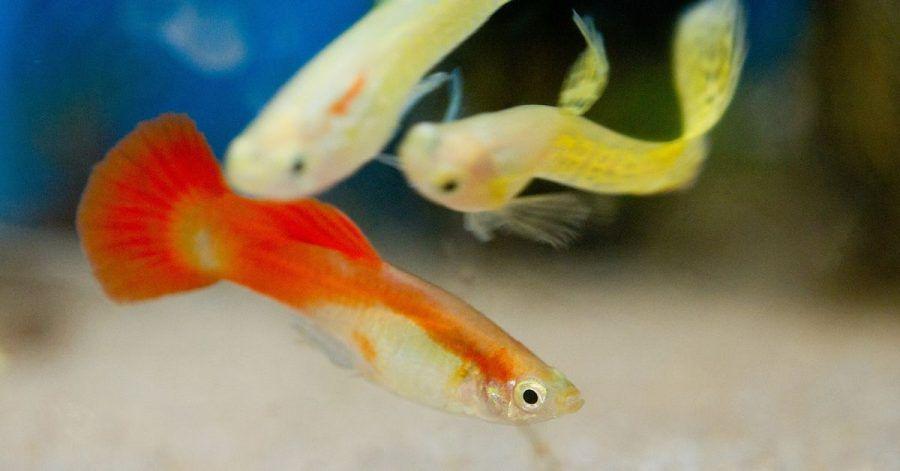 Auch bestimmte Guppy-Arten dürfen im Sommer raus in den Teich - sie sollten aber rechtzeitig zurück ins Aquarium, wenn das Teichwasser zu kalt wird.