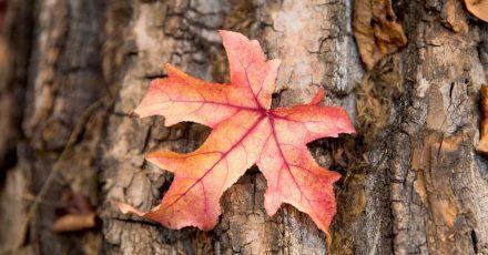 Die Blattfärbung und in der Folge das Herabfallen des Laubs wird normalerweise ausgelöst von schwindender Tageslänge und kühler werdenden Temperaturen.