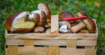 Pilzsammler sollten sich nicht allein auf eine Handy-App verlassen, warnt die Verbraucherzentrale Sachsen-Anhalt. Auch Geruch und Konsistenz seien für eine richtige Bestimmung wichtig.