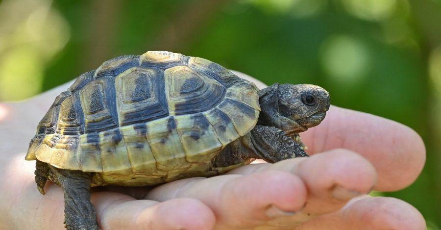 Eine noch junge Griechische Landschildkröte. Landschildkröten können über 100 Jahre alt werden.