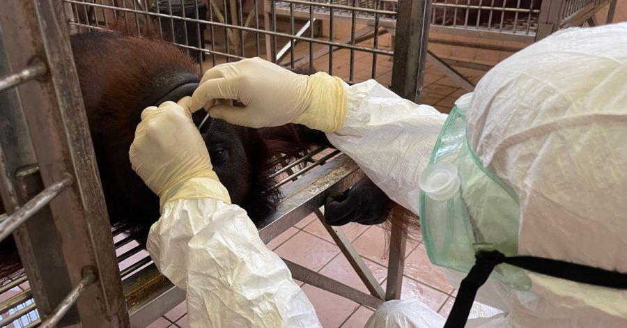 Ein Mitarbeiter entnimmt eine Nasenabstrichprobe von einem Orang-Utan für einen Coronatest.