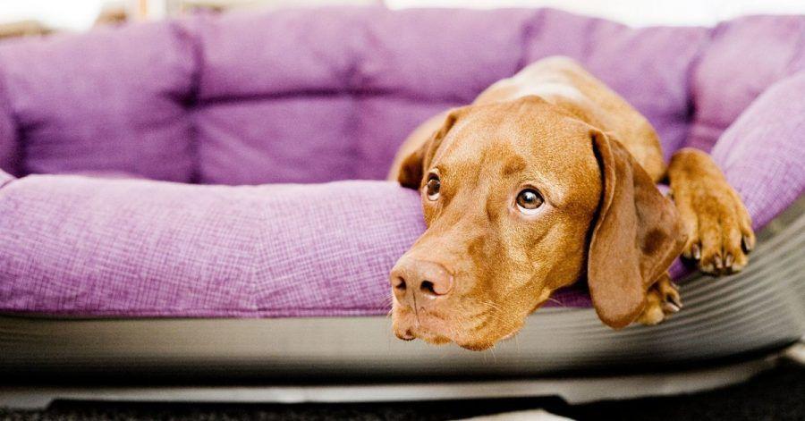 Für in der Pandemie angeschaffte Junghunde ist das Alleinsein zuhause völliges Neuland. Da hilft nur üben, üben, üben. Anfangs wird der Hund nur für Sekunden allein gelassen.
