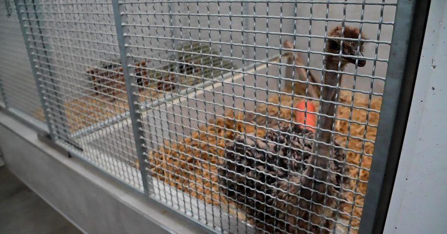 Der junger Straußenvogel ist mittlerweile in einem Käfig im Krefelder Tierheim.