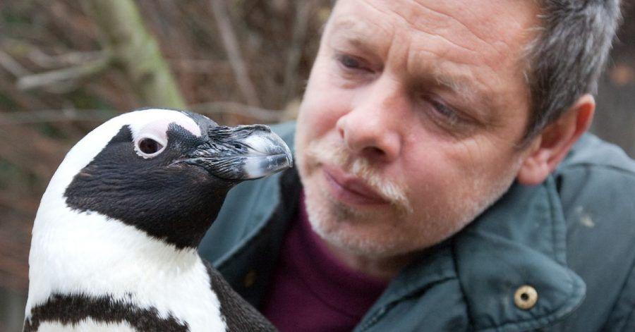 Tierpfleger Peter Vollbracht betrachtet im Münsteraner Allwetterzoo das Brillenpinguin-Weibchen Sandy. Der bei den Zoo-Besuchern beliebte und aus dem Fernsehen bekannte Pinguin ist im Alter von 25 Jahren gestorben.