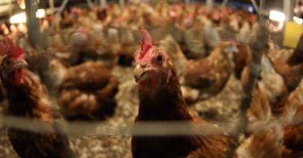 In der EU sollen künftig weniger Antibiotika an Tiere gehen.